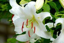 カサブランカ 花言葉