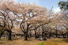 花見 桜 毛虫