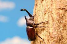カブトムシ 寿命