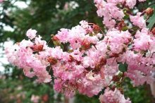 サルスベリ 花言葉