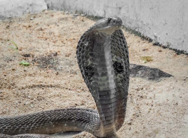 毒蛇 種類