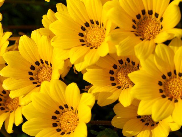 ガザニア 花言葉
