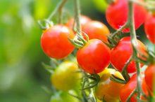 ミニトマト トマト 違い